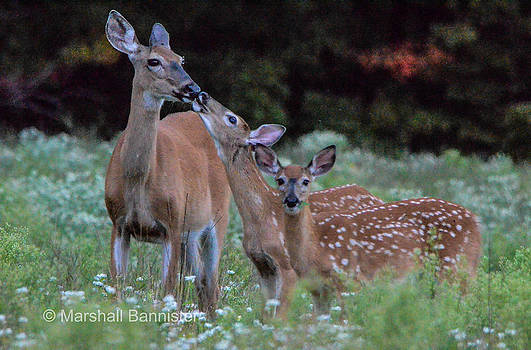 Deer Kiss by Marshall Bannister