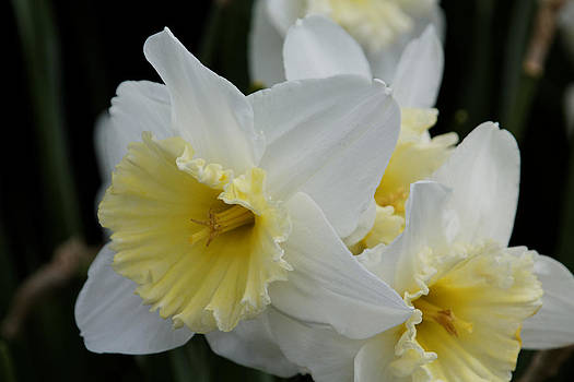 Delicate And Lacy Daffodils by Denyse Duhaime