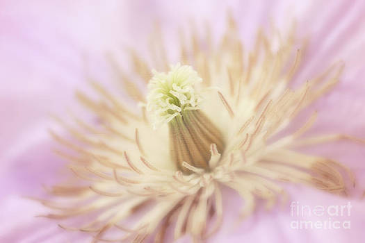 LHJB Photography - Delicate and Soft Pink Clematis