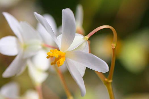 Delicate Begonia by Laurel Butkins