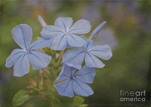 Sabrina L Ryan - Delicate Blue Plumbago Flowers
