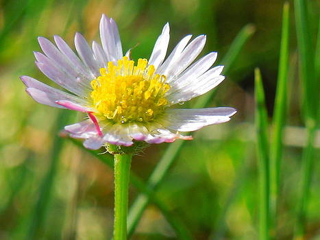 Delicate Daisy In the Wild by Donna Jackson