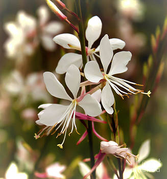 Delicate Gaura Flowers by Joann Copeland-Paul