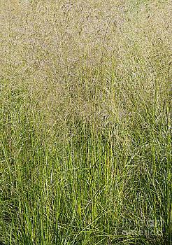 Barbara McMahon - Delicate Tall Grasses