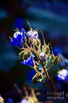 Desert Bluebells by Jeanette Brown