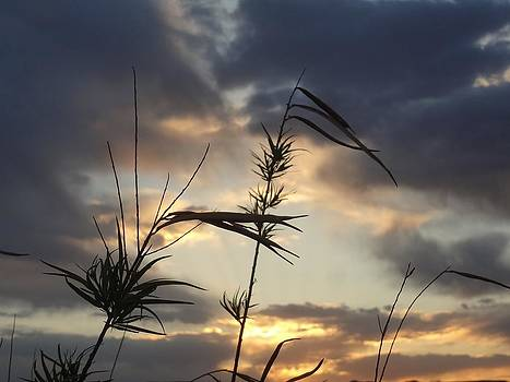 Desert Willow Sunset by Frederick R