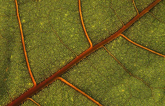Detail of a poplar leaf by Henrique Souto