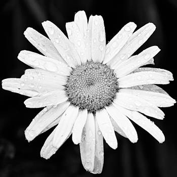 Adam Romanowicz - Dew Drop Daisy