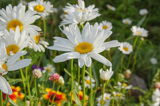 Dewy Daisies II by Tingy Wende