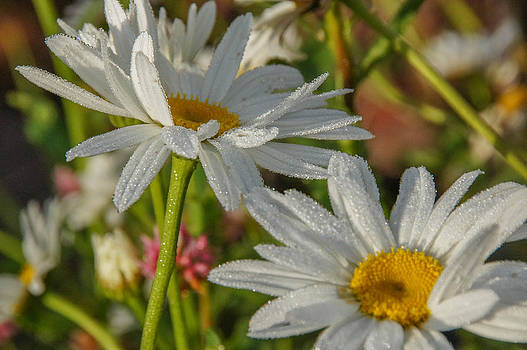 Dewy Daisies by Tingy Wende