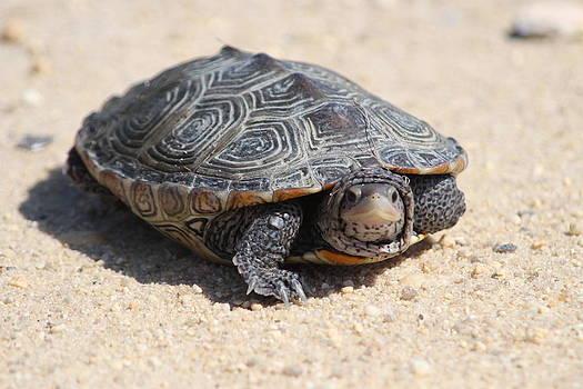 Diamondback Terrapin Turtle by Diane Rada