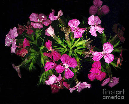 Dianthus in bloom by Don Fleming