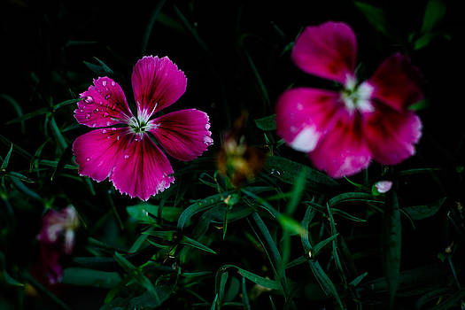 Dianthus Singapore Flower by Donald Chen