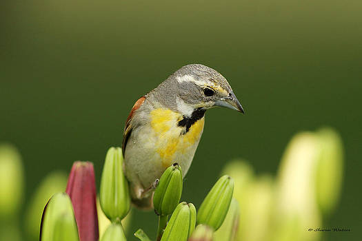 Dickcissel in the Garden by Sharon Watson