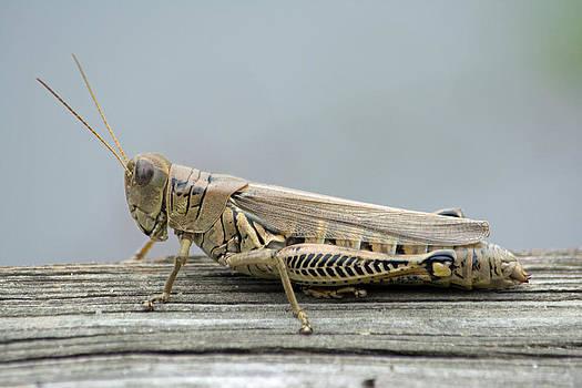 Differential Grasshopper by Carla Mason