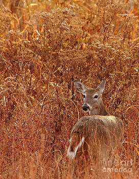 Doe In Autumn Red Grass by Robert Frederick
