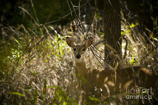 Doe in the Woods by Margaret Guest