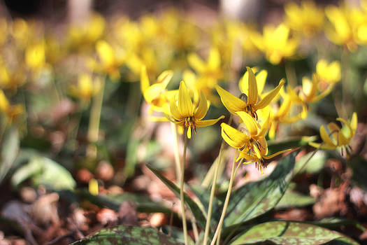 Dogtooth Violets In The Woods  by Patricia Davis