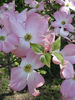 Dogwood Blossom by Jean Sproul
