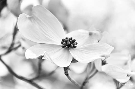 Dogwood Blossoms by Diana Boyd