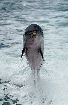 Dolphin by Brian Sevald