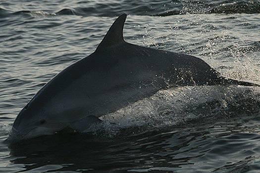 Dolphin Daze by Ginger Bear