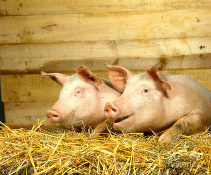 Hans Reinhard - Domestic Pigs