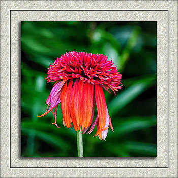 Double Scoop Orangeberry Coneflower by Gary Smith