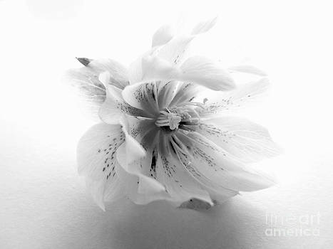 Double White Hellebore in Black and White I by Phil Paynter