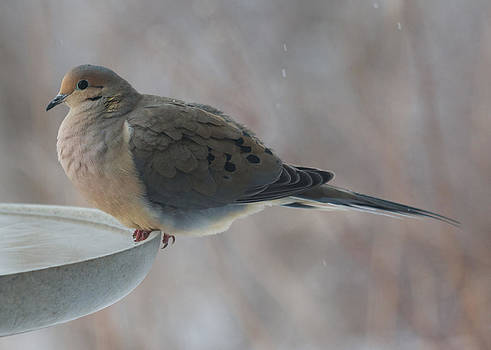 Dove Puff by Diane Porter