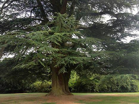 Downton Abbey Cedar Tree by Jan Cipolla