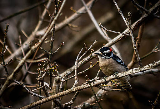Downy Woodpecker by Jim Johnson