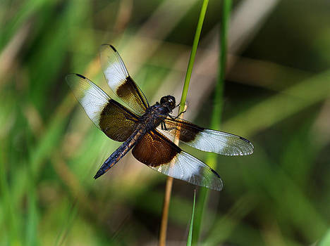 Dragon Fly #1 by Jamieson Brown
