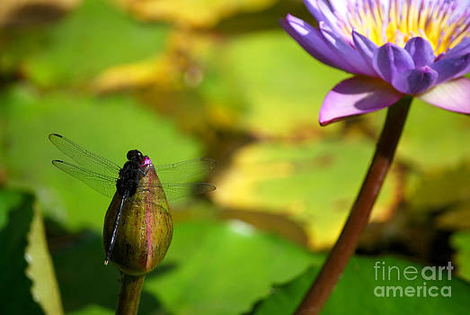Heather Kirk - Dragon Fly on Bud and Water Lily Horizontal Number One