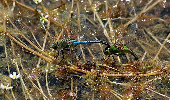 Rosanne Jordan - Dragonflies in Love