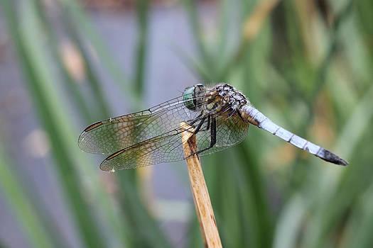 Adrienne Franklin - Dragonfly