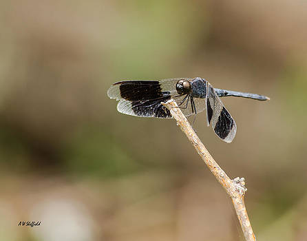 Allen Sheffield - Dragonfly