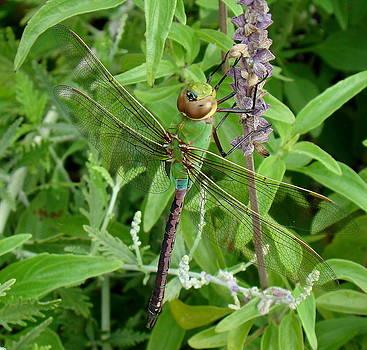 Rosanne Jordan - Dragonfly Colors