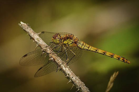 Dragonfly by Darren Marshall