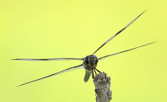 Rosanne Jordan - Dragonfly Focus