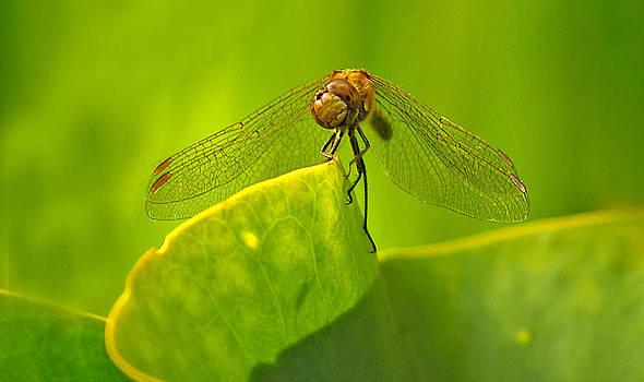 Dragonfly by Ian Flear
