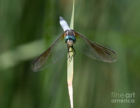 Dragonfly II by Douglas Stucky
