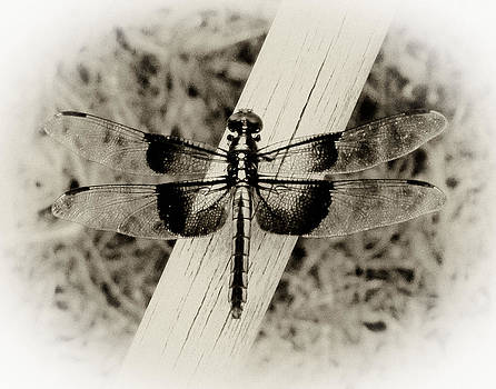TONY GRIDER - Dragonfly in Sepia