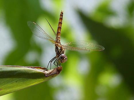 Dragonfly by Janina  Suuronen