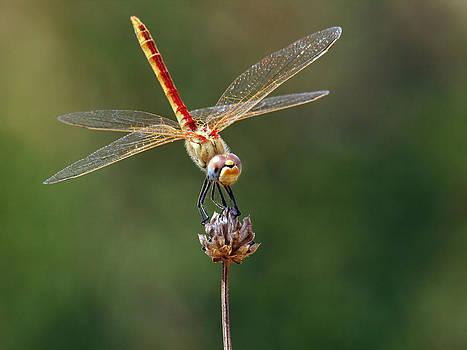 Dragonfly by Meir Ezrachi
