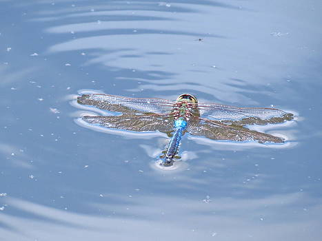 Dragonfly on the water by Teresa Cox