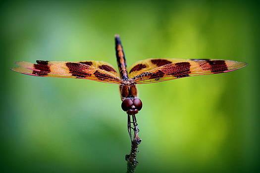 Rosanne Jordan - Dragonfly Stare