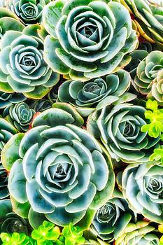 Dramatic Succulent by Janice Sullivan