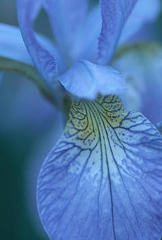Dreamy Iris by Bucko Productions Photography
