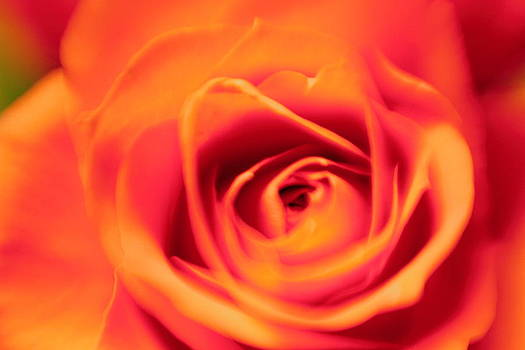 Dreamy Pink Rose with Yellow Tips by Matt Matthews